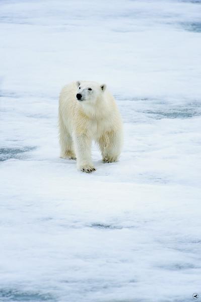 polar bear_1661