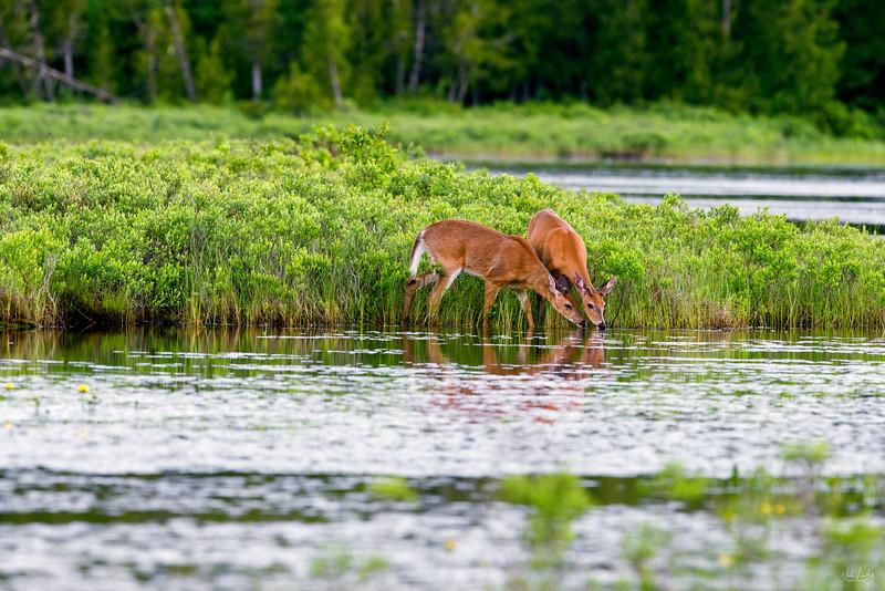 white-tailed deer_2447