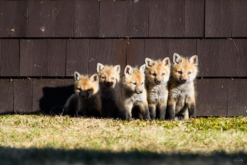 red fox_5376