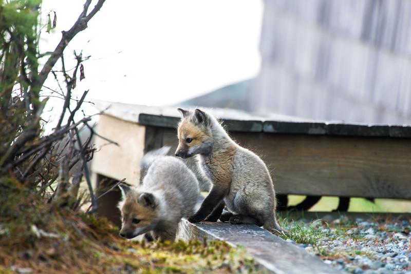 red fox_5330