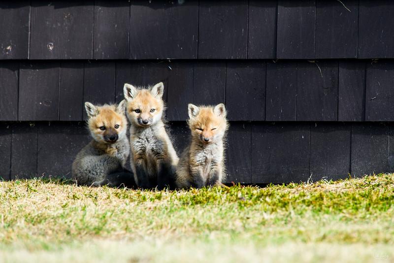 red fox_5423