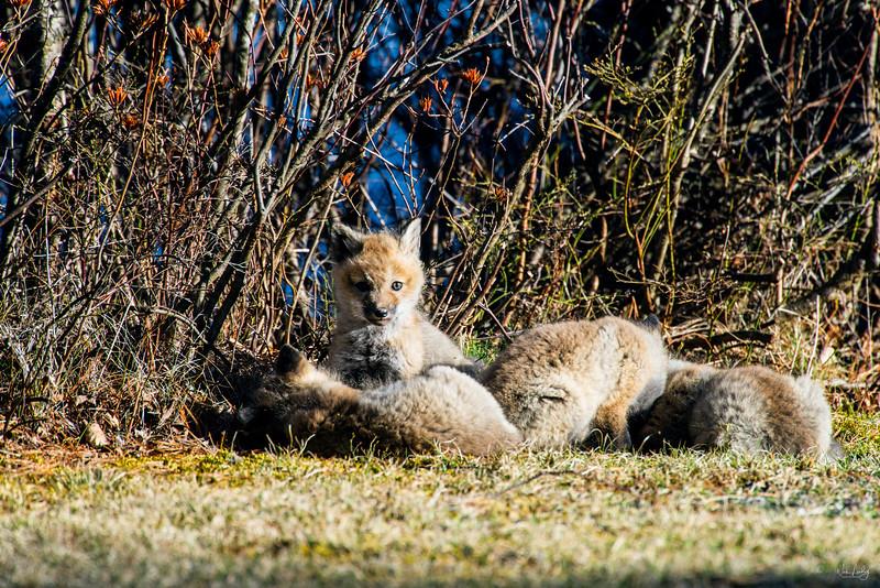 red fox_5347