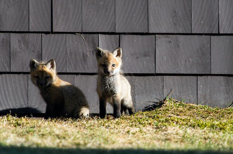 red fox_5354