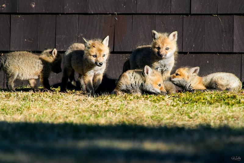 red fox_5373