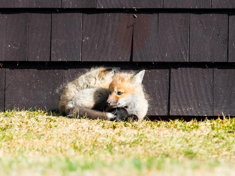 red fox_5425
