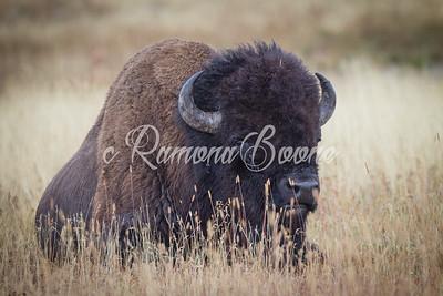 2. Bison