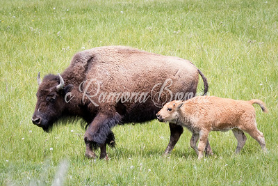 4. Bison and Young