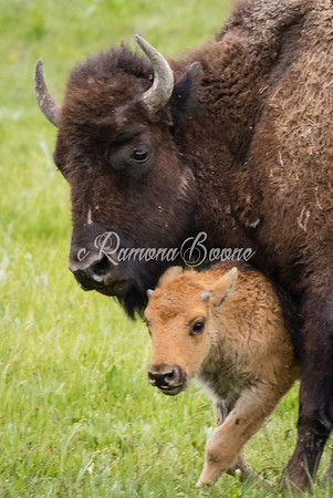 3. Bison and Young