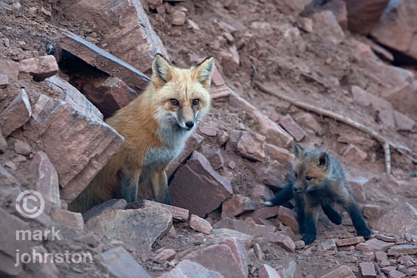 Red fox female and kits at den entrance