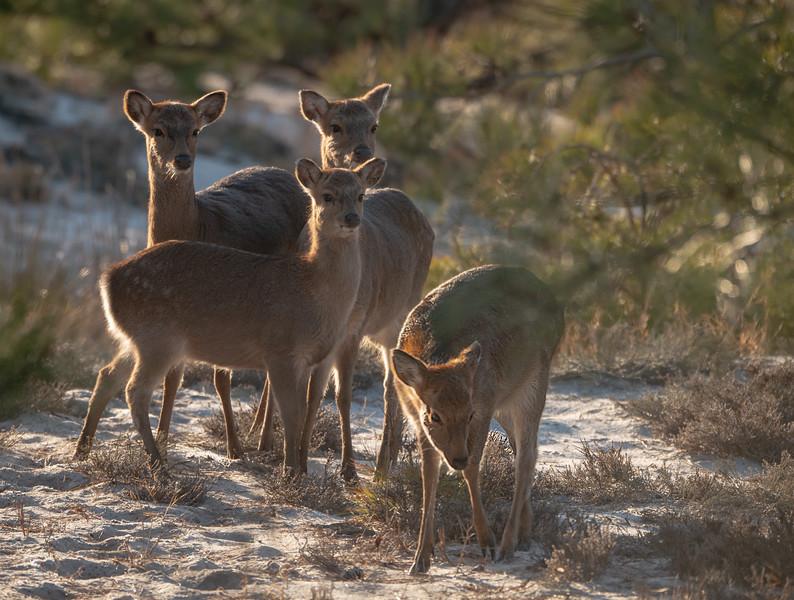 Curious Sita Deer