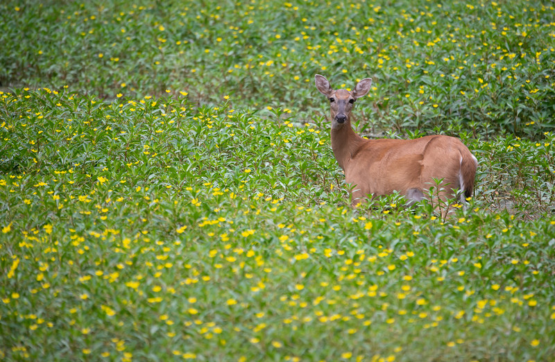 White-tailed Deer, Doe
