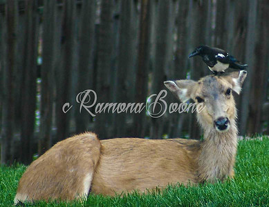 Doe and Magpie