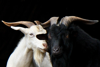 Goat and Sheerp