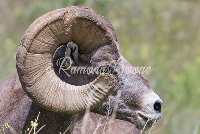 4. Big Horned Sheep