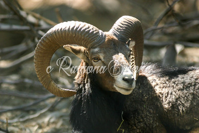 1. Big Horn Sheep