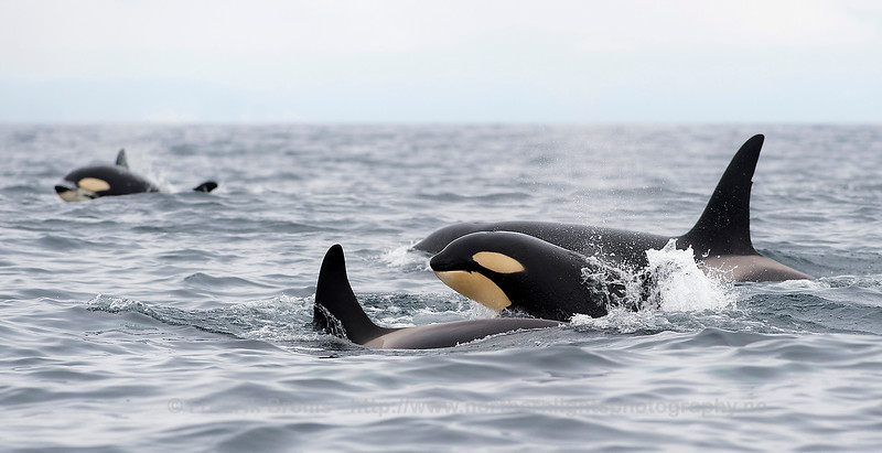 Young Killer Whale, Northern Norway