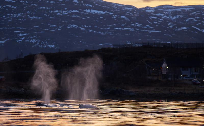 Humpback blows, Kvaløyvågen, Norway