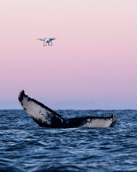 Drone Hovering over a Diving Humpback Whale, Norway