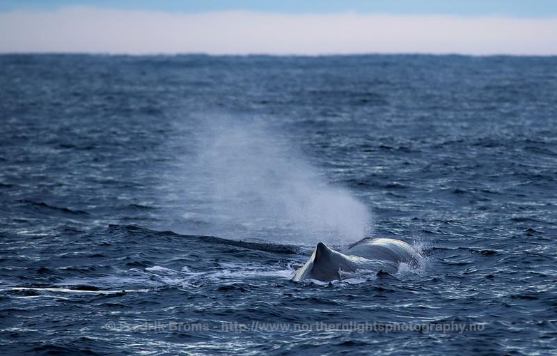 Sperm Whale, Norway