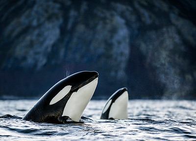 Spy-hopping killer whales, Vengsøya, Norway