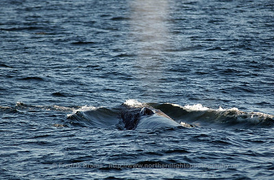 Surfacing Fin Whale, Norway