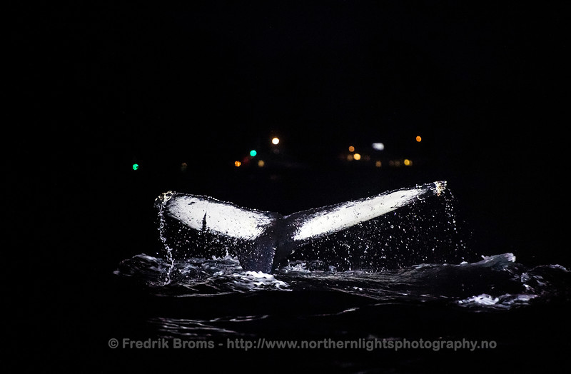 Diving whale during Night, Norway