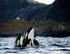 Curious Killer Whales, Vengsøya, Norway