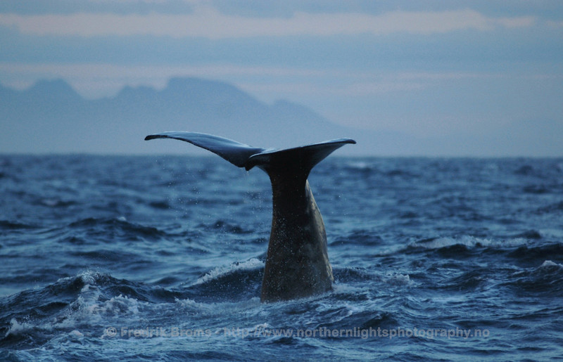 Sperm Whale outside Senja, Norway