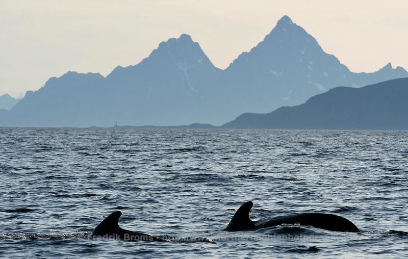 Pilot Whales in Lofoten, Norway