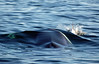 Breaking the Surface (Fin Whale + White-beaked dolphin), Senja, Norway