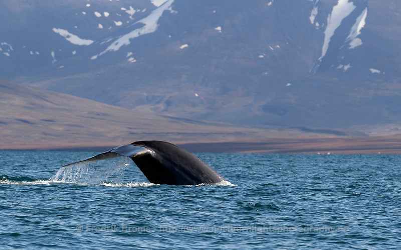 Blue Whale preparing for a deep dive, Isfjorden, Norway