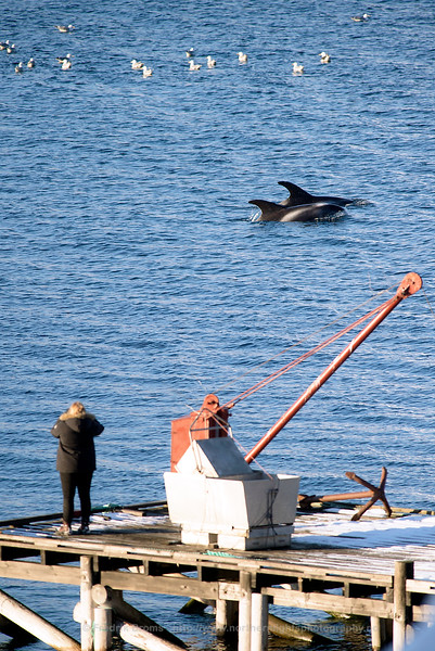 Watching White-beaked dolphins outside Tromsø, Norway