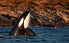 Spy-hopping Orca, Sandøya, Norway