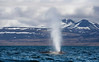 The Blow of a Blue Whale, Svalbard, Norway
