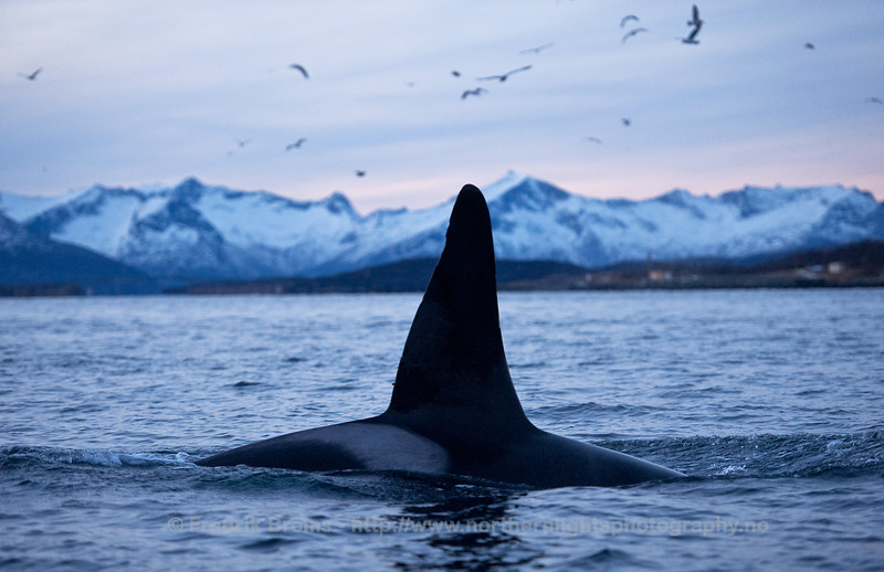 Killer Whale in the herring-filled fjords off Tromsø, Norway
