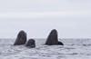 Spy-hopping Pilot Whales, Kvaløya, Norway