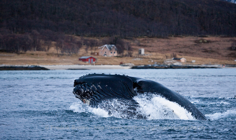 Humpback Whale lunge-feeding on Herring, Norway