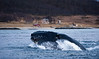 Humpback Whale lunge-feeding on Herring, Norway