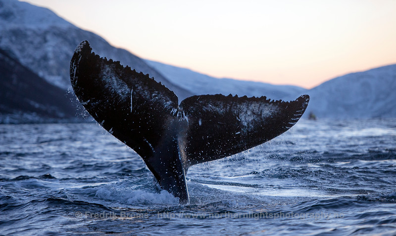 Humpback Whale Photo Identification, Norway