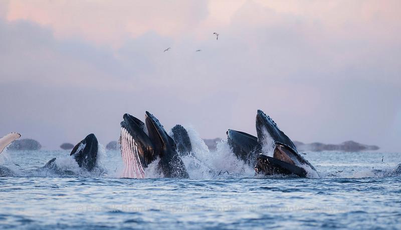 Humpback Whale Feeding Frenzy, Northern Norway