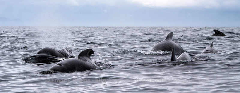 Pilot Whale Family, Norway