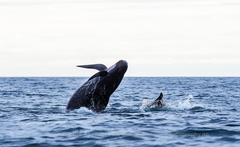 Breaching Pilot Whale, Northern Norway