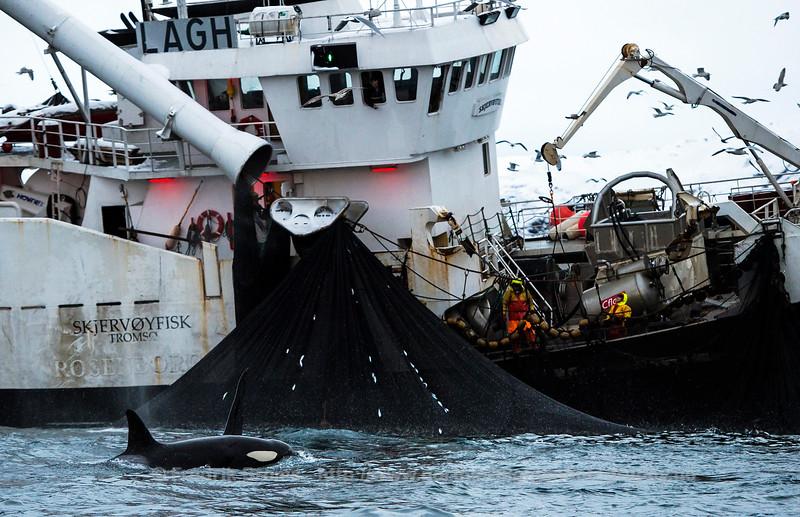 Catching herring, Norway