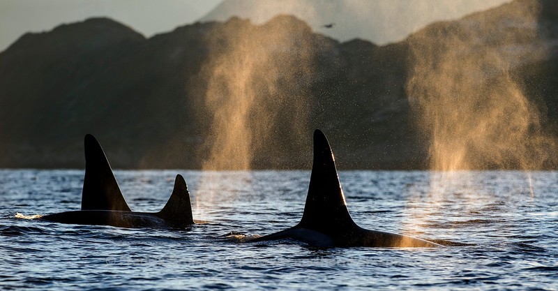 Orca Family Group, Vengsøya, Norway