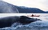 Humpback Whale and Kayak, Kattfjorden, Norway