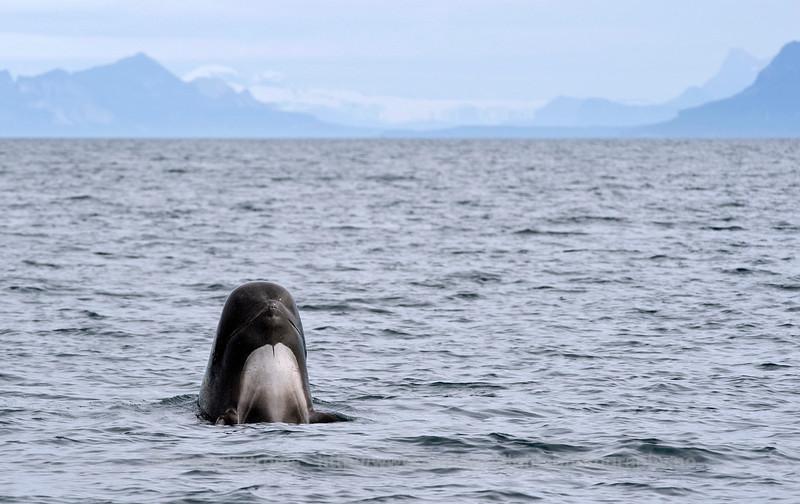 Spyhopping Pilot Whale, Lofoten, Norway