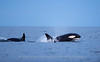 Killer Whales outside Kvaløya, Norway