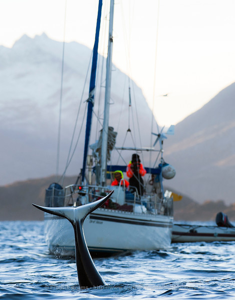 Killer Whale Fluke and Sailing Boat, Norway
