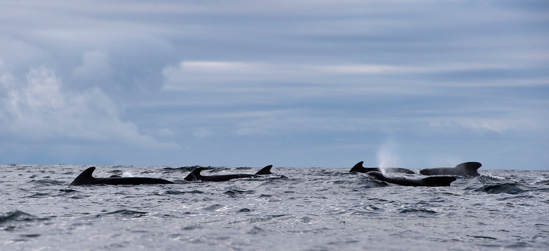 Pilot Whales on the Move, Northern Norway