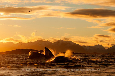 Lunge-feeding Humpback Whales at Sunset, Norway